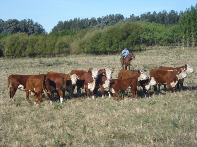 GANADERIA-Vaca-y-ternero