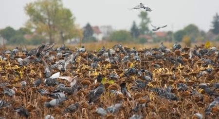 22836201-palomas-comen-semillas-de-girasol-en-el-campo