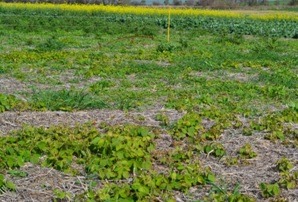 Figura 4. Plantas voluntarias de soja con uredinios esporulantes de RAS. Fuente: Patología Vegetal. INTA-EEA Paraná (2014).