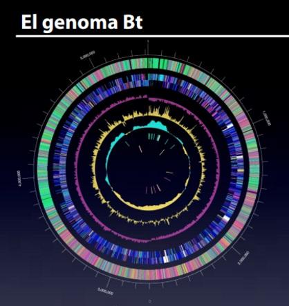 Genoma Bt