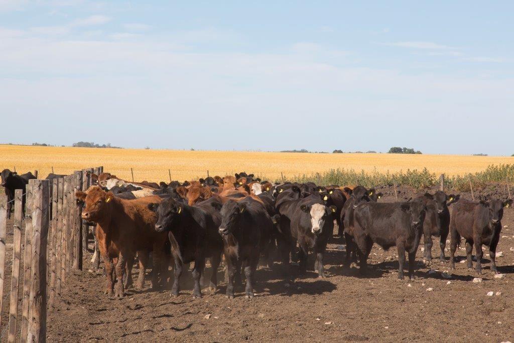 Estrés calorico en bovinos